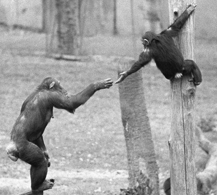 Chimps Reaching Out